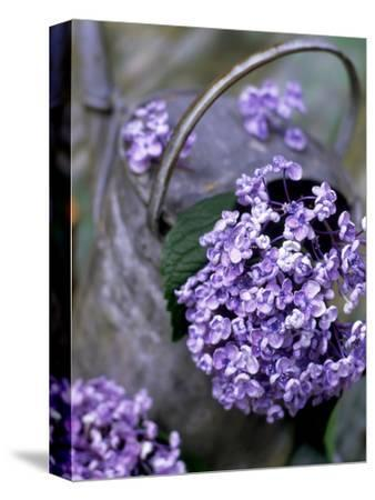 Still Life Outdoors Summer, Hydrangea in Old Metal Watering Can