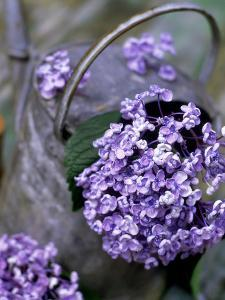 Still Life Outdoors Summer, Hydrangea in Old Metal Watering Can by James Guilliam