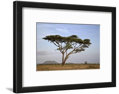 Acacia Tree, Serengeti National Park, Tanzania, East Africa, Africa