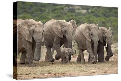 African Elephant (Loxodonta Africana) Family, Addo Elephant National Park, South Africa, Africa
