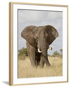 African Elephant (Loxodonta Africana), Kruger National Park, South Africa, Africa by James Hager