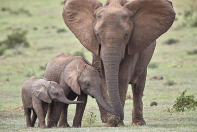African Elephant (Loxodonta africana) mother and two young, Addo Elephant National Park, South Afri by James Hager