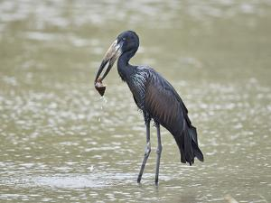 African open-billed stork (African openbill) (Anastomus lamelligerus) with a snail, Selous Game Res by James Hager