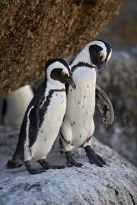 African Penguin (Spheniscus demersus) pair, Simon's Town, near Cape Town, South Africa, Africa by James Hager