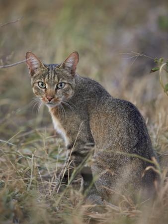 African Wild Cat (Felis Silvestris Lybica), Kruger National Park, South Africa, Africa by James Hager