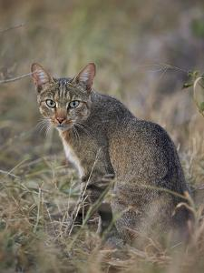 African Wild Cat (Felis Silvestris Lybica), Kruger National Park, South Africa, Africa by James Hager