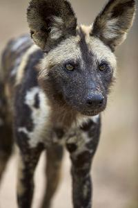African Wild Dog (African Hunting Dog) (Cape Hunting Dog) (Lycaon Pictus) by James Hager