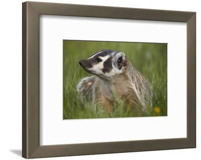 American Badger (Taxidea Taxus), Yellowstone National Park, Wyoming, United States of America