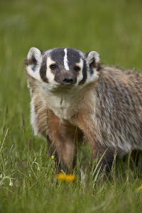 American Badger (Taxidea Taxus), Yellowstone National Park, Wyoming, United States of America by James Hager