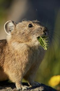 American pika (Ochotona princeps) with food in its mouth, San Juan National Forest, Colorado, Unite by James Hager