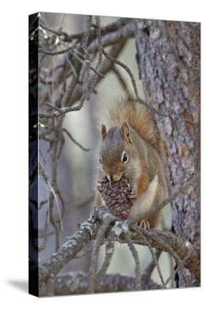 American Red Squirrel (Red Squirrel) (Spruce Squirrel) (Tamiasciurus Hudsonicus) with a Pine Cone