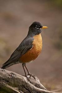 American Robin (Turdus Migratorius), Yellowstone National Park, Wyoming, United States of America by James Hager