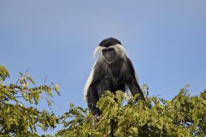 Angola colobus (Angolan black-and-white colobus) (Angolan colobus) (Colobus angolensis), Selous Gam by James Hager