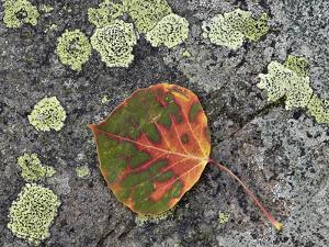 Aspen Leaf Turning Red and Orange on a Lichen-Covered Rock by James Hager