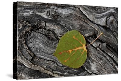 Aspen Leaf Turning Red