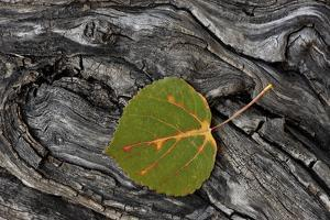 Aspen Leaf Turning Red by James Hager