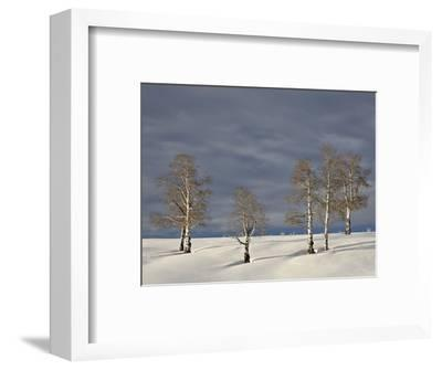 Aspen Trees on a Snow-Covered Hillside, San Miguel County, Colorado, USA, North America