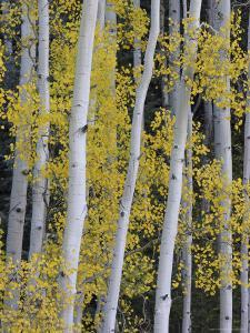 Aspen Trunks and Fall Foliage, Near Telluride, Colorado, United States of America, North America by James Hager