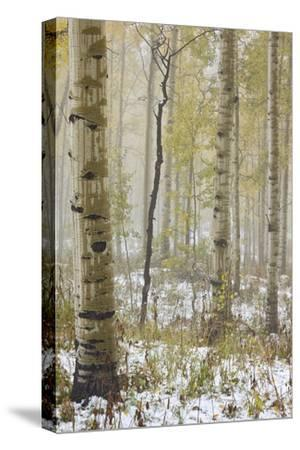 Aspens in the Fall in Fog, Grand Mesa National Forest, Colorado