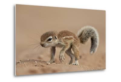 Baby Cape Ground Squirrel (Xerus Inauris)