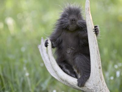 Baby Porcupine Sitting on a Weathered Elk Antler, in Captivity, Bozeman, Montana, USA