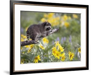 Baby Raccoon in Captivity, Animals of Montana, Bozeman, Montana, USA by James Hager
