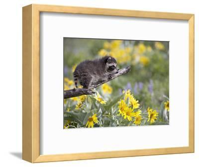Baby Raccoon in Captivity, Animals of Montana, Bozeman, Montana, USA