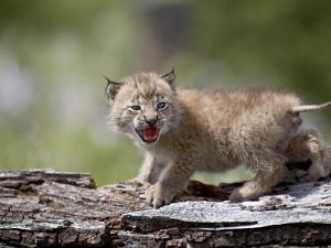 Baby Siberian Lynx or Eurasian Lynx in Captivity, Animals of Montana, Bozeman, Montana, USA by James Hager