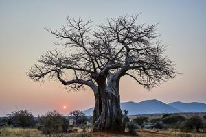 Baobab (Adansonia digitata) at sunrise, Ruaha National Park, Tanzania, East Africa, Africa by James Hager