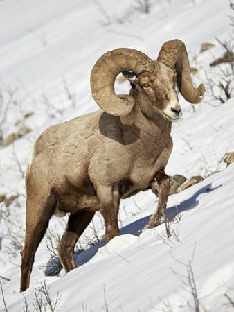 Bighorn Sheep (Ovis Canadensis) Ram in the Snow by James Hager