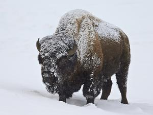 Bison (Bison Bison) Bull Covered with Snow in the Winter by James Hager
