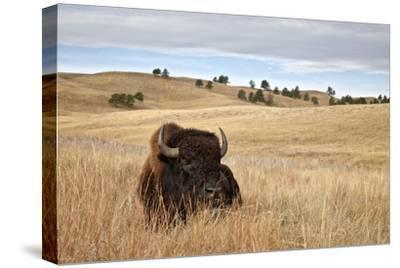 Bison (Bison Bison) Bull, Custer State Park, South Dakota, United States of America, North America