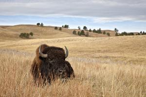Bison (Bison Bison) Bull, Custer State Park, South Dakota, United States of America, North America by James Hager