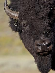 Bison (Bison Bison) Bull, Yellowstone National Park, Wyoming, USA, North America by James Hager