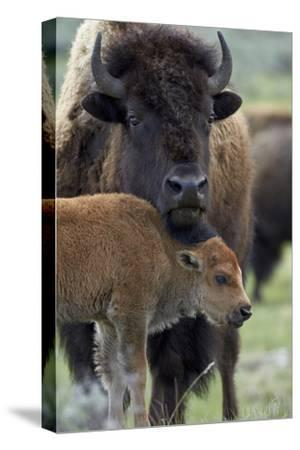 Bison (Bison Bison) Cow and Calf