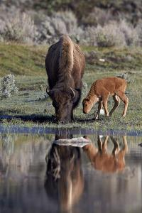Bison (Bison Bison) Cow and Calf by James Hager