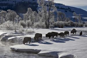 Bison (Bison Bison) Cows in the Snow with Frost-Covered Trees in the Winter by James Hager