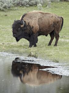 Bison (Bison Bison) Reflected in a Pond, Yellowstone National Park, UNESCO World Heritage Site, Wyo by James Hager