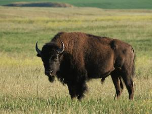 Bison (Bison Bison), Theodore Roosevelt National Park, North Dakota by James Hager