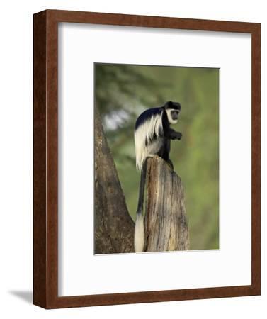 Black-And-White Colobus Monkey (Colobus Guereza), Lake Naivasha, Kenya, East Africa, Africa
