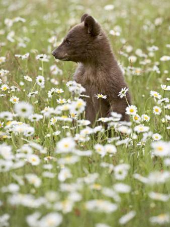 Black Bear Cub Among Oxeye Daisy, in Captivity, Sandstone, Minnesota, USA