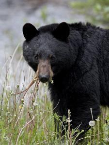 Black Bear (Ursus Americanus), Banff National Park, Alberta, Canada, North America by James Hager