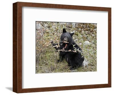 Black Bear (Ursus Americanus) Cub Eating Canadian Gooseberry Berries, Jasper National Park, Alberta