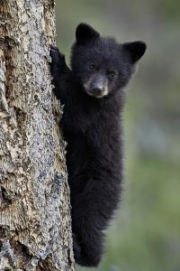Black Bear (Ursus Americanus) Cub of the Year or Spring Cub Climbing a Tree by James Hager