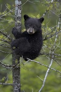 Black Bear (Ursus Americanus) Cub of the Year or Spring Cub in a Tree, Yellowstone National Park by James Hager