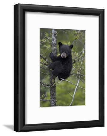 Black Bear (Ursus Americanus) Cub of the Year or Spring Cub in a Tree, Yellowstone National Park