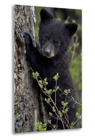 Black Bear (Ursus Americanus) Cub of the Year or Spring Cub, Yellowstone National Park, Wyoming