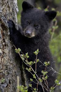 Black Bear (Ursus Americanus) Cub of the Year or Spring Cub, Yellowstone National Park, Wyoming by James Hager