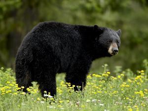 Black Bear (Ursus Americanus), Manning Provincial Park, British Columbia, Canada, North America by James Hager