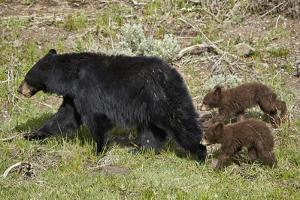 Black Bear (Ursus americanus) sow and two chocolate cubs-of-the-year, Yellowstone National Park, Wy by James Hager